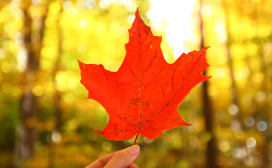 Canadian Roots Image maple leaf